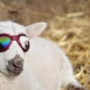 Des lunettes de soleil sur mesure ajustées sur les yeux d'un agneau
