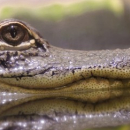 La sécheresse oculaire traitée grâce… aux larmes de crocodiles?